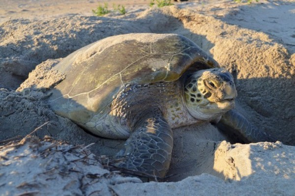 Turtle Nesting in Diglipur: A Comprehensive Know-It-All Guide For Travellers